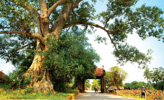 Làng cổ Đường Lâm với cây đa 300 tuổi và khung cảnh thôn quê cổ kính1